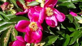 Trädgårdsföreningen Rhododendron