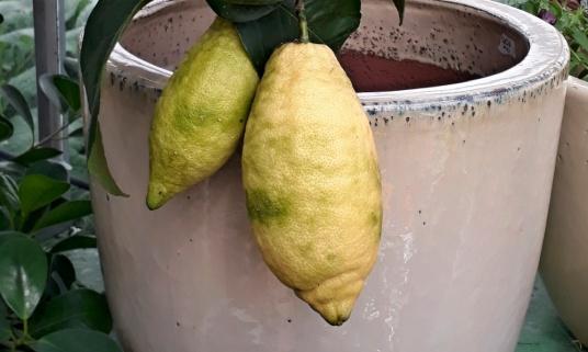 Trädgårdsföreningen Två citroner gula